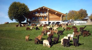 visit the lamas of Switzerland