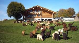 visit the lamas of Switzerland